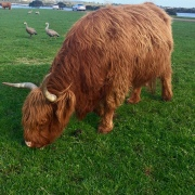 yak or cow?